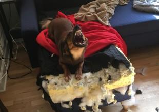 Perro endemoniado se convierte en una divertida batalla del Photoshop